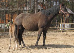 Konie rasy małopolskiej, matka Bawełna ze źrebakiem Bohunem