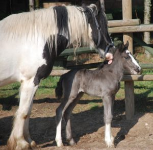 Konie rasy tinkerskiej, matka Birma ze źrebakiem Borneo